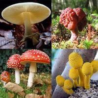 jamur beracun