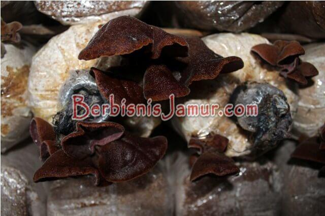 Jamur Kuping