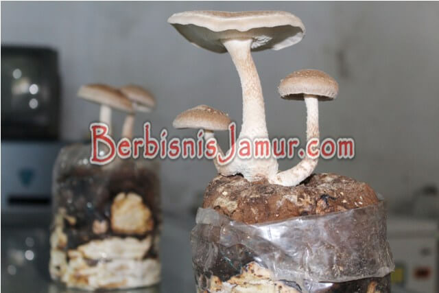Jamur Shitake