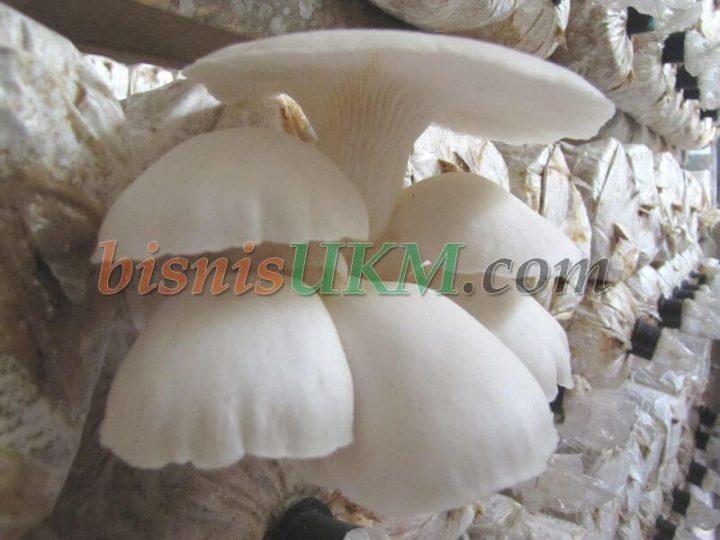 pemasaran jamur